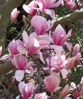 Magnolias soulangeana