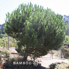 Pinus pinea (Italian Stone Pine)